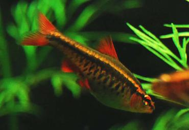 Choosing the Right Barbs for Your Tank