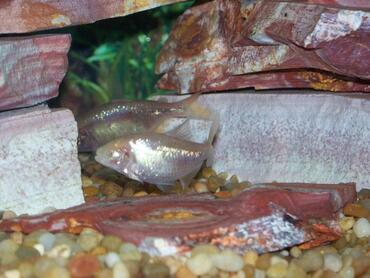 Species Profile: Blind Cave Tetra