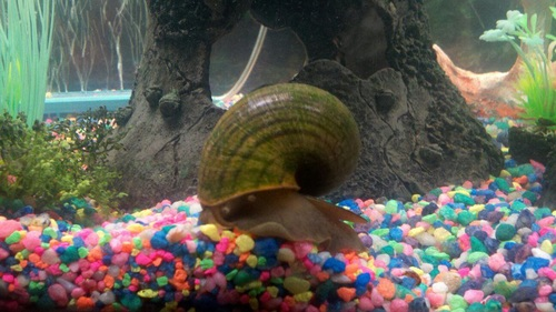 Types of freshwater aquarium snails for Snail eggs in fish tank