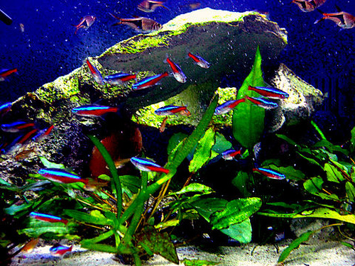 Stocking your tank with schooling fish for Best community fish