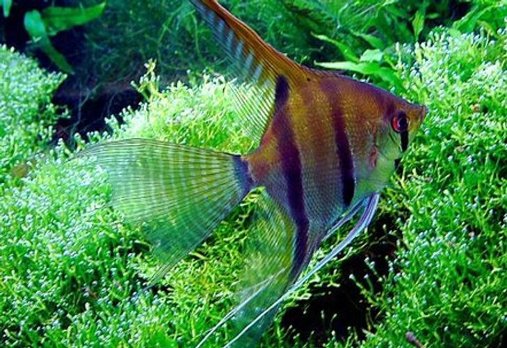 angelfish types aquarium