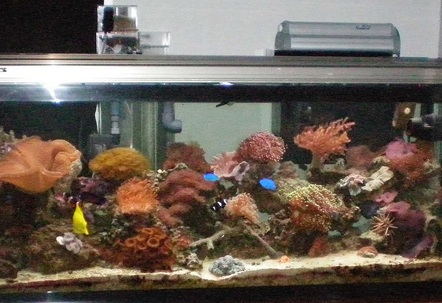 I have a yellow tang reef beautie 2 blue dammsels scooter bleene dwarf lion fishblack clown and orange clown copperband urchent inverts 3 skunk cleaner shrimp fireshrimp pepermint shrimp purple lobster sally lightfoot aarow crab annome crabhad a green brittle he killed 200 worth of fish hes gone now