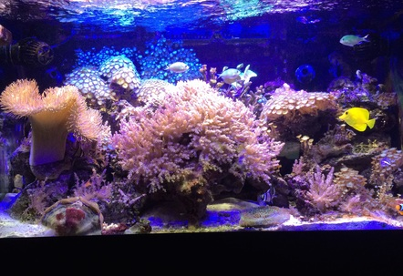 new picture corals doing very well Happy 4th everone