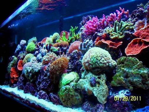 180 REEF 1 Year Old Mixed hard and Soft corals under a single T5 Tek Light fixture