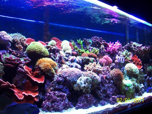 180 Reef with various Hard and Soft Corals T5 lighting Only
