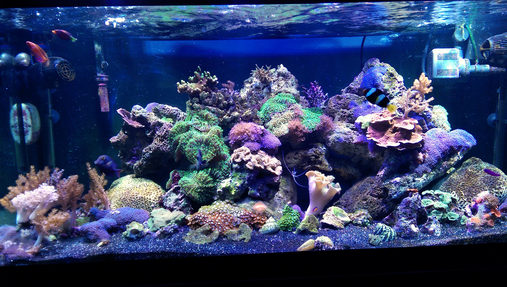 I recently moved all of my corals and livestock from a 28 gallon bowfront to this 75  Everything is doing great so far