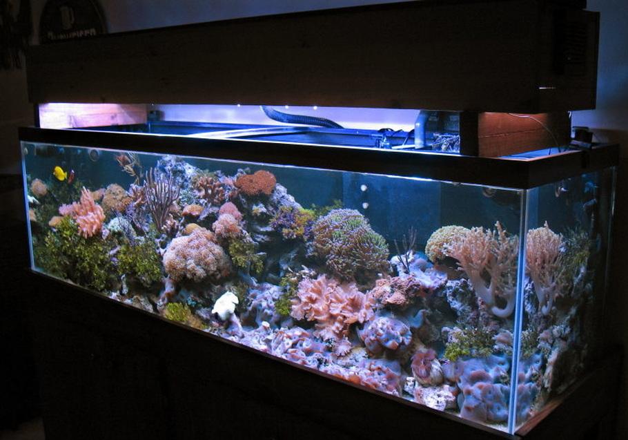 125 gallons reef 2-175watts MH Reeflux 10K + 2-160watts VHO Remora AquaC Pro Skimmer 3-Koralia PH's 1/4hp chiller