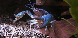 Blue crawfishcrayfishcrawdadmudbug