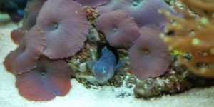 BiColor Blenny Lenny He likes to hide in this mushroom coral