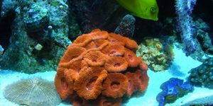 blood red acans 20 polyps