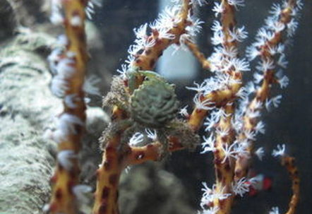 My Emerald Crab Elphaba climbing on the Yellow Gorgonian