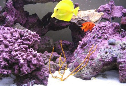Sea Fan Yellow Tang and Flame Angel