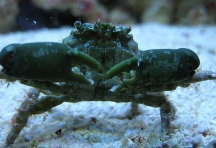 Emerald crab closeup in my 125 reef