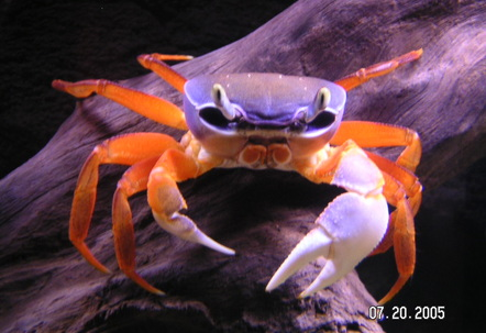 This freshwater crab didnt really fit in a category I bought it as a Patriot Crab but Im sure thats not the real name