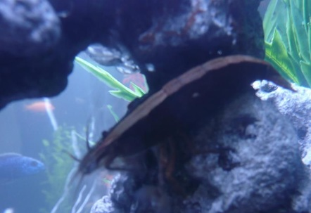 Waterfall shrimp I have two of these guys