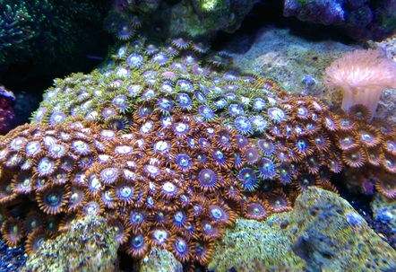 fire and ice zoas and a similar looking colony of green and blue not sure what they are called