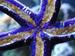 Linckia Teres Linckia Sea Star, Purple