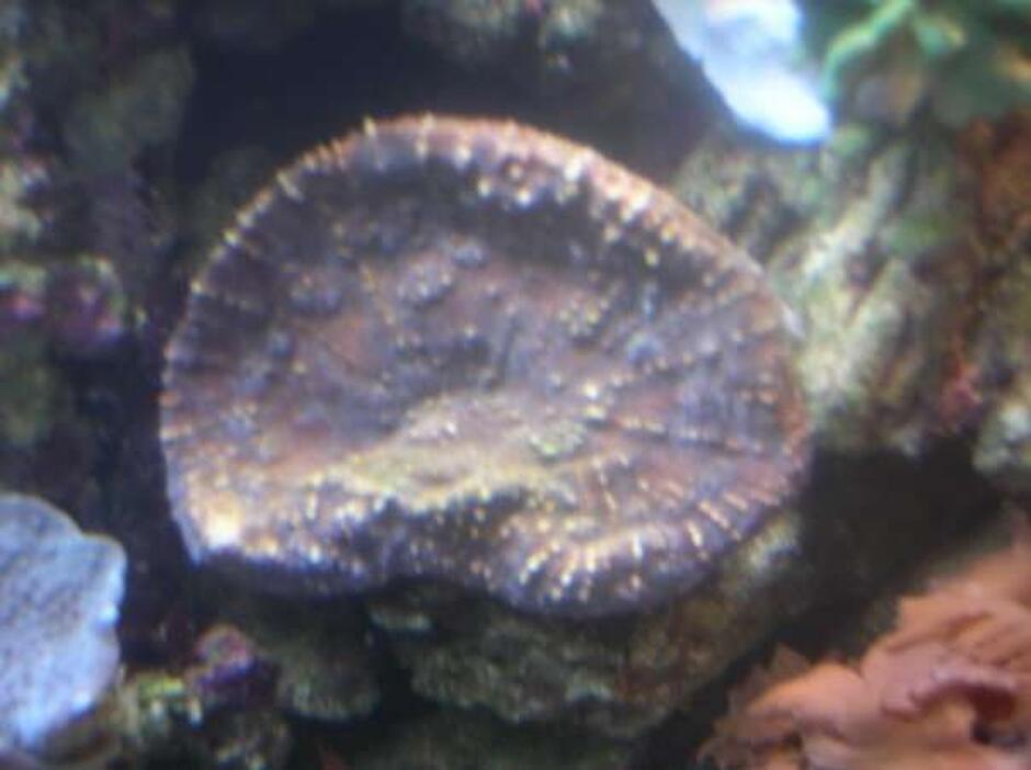 Oxypora Coral (Oxypora Sp.) Photo Picture ID 5930