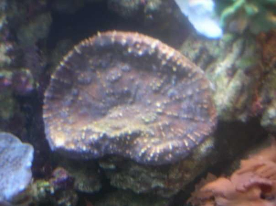 Oxypora Coral (Oxypora Sp.) Photo Picture ID 5930
