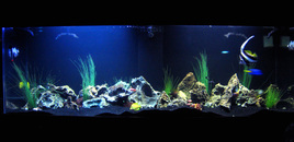 130 gallon tank with Powder Blue Tang Heniochus Blue Tang Yellow Tang Sailfin Tang Clown Fishes Niger Trigger Striped Damsels avoid damsels  theyre a pain! Green Chromis Green Serpent Star Electric Blue Hermit Crab Cleaner Shrimp Lots of Hermit Crabs and a Blue Lobster