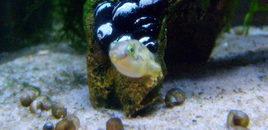 Blimpie the Dwarf Puffer in his snail graveyard