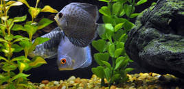 Blue diamond and blue snakeskin discus