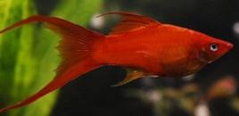 4 Red Marigold Swordtail