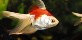 4 OrangeWhite Goldfish