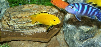 F1  Labidochromis Caeruleus