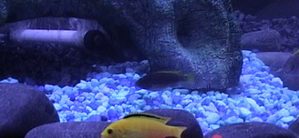 One of our pair of Electric Yellow Cichlids with one of our Electric Blue Cichlids in the background