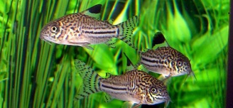 Three of my Julii Corydoras  Busy little guys tough to catch 3 of them being still!