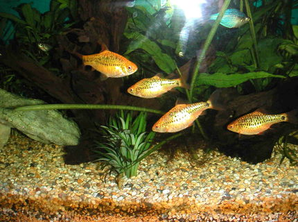 Gold barb information care for Gold barb fish
