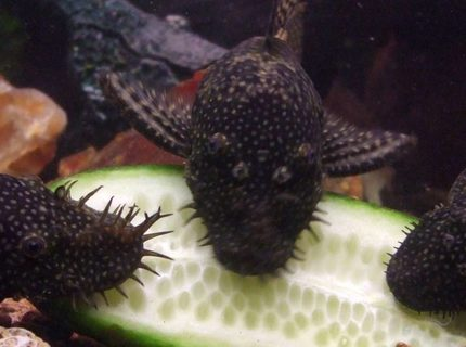 3 of my bristle nose plecos munching on some cucumber