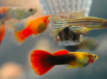 Assorted Guppies Dwarf Platy and Longfin Zebra Danio feeding at the worm feeder