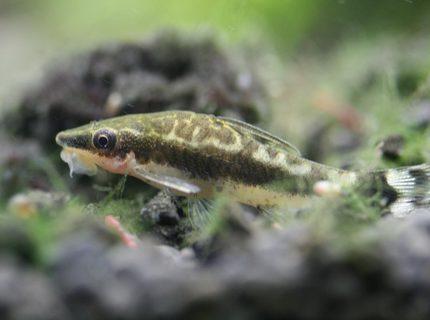 suckermouth catfish Midget
