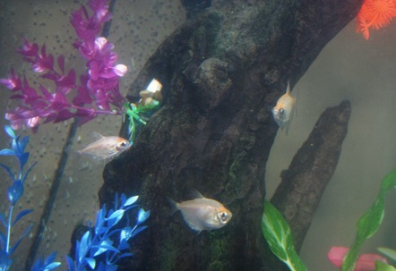 3 White Skirt Tetra Tank is a little cloudy taken before finished cycle but I thought this was a good picture of the family of White Skirts I think anyone have any ideas?
