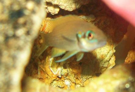 Lamprologus brichardi