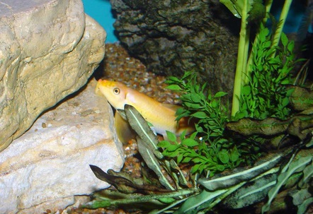 This golden algae eater Gyrinocheilus aymomieri started out at about 15 and is now about 6 South and Central American Cichlids share his 150gal mansion