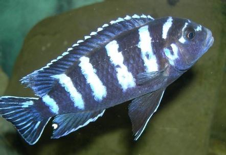 a male Pseudotropheus demasoniView LARGE