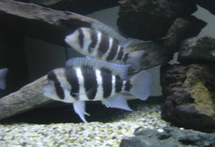 My 6 Foot AquariumVery Large Self Cured Rocks  EasyFontosas My Favourite