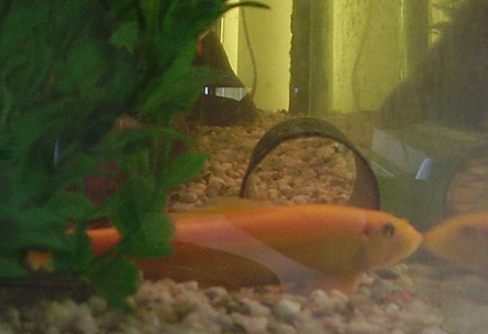 When i took this picture of my gold algae eater he was playing the stay still and maybe they wont see me card silly thing he loves to hide in the tubing and chase the other two brown algae eaters he is the biggest sae