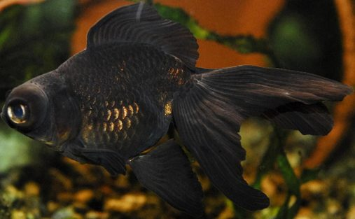 4 Black Moor Goldfish