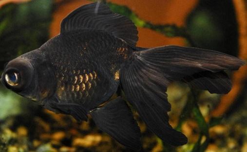 4 Black Moor Goldfish