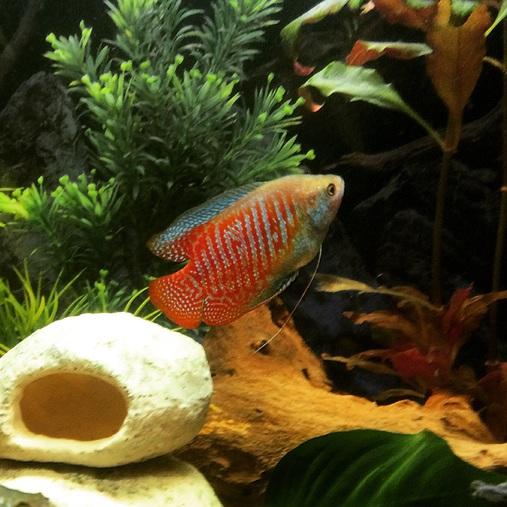 Keeping Dwarf Gouramis In The Freshwater Tank