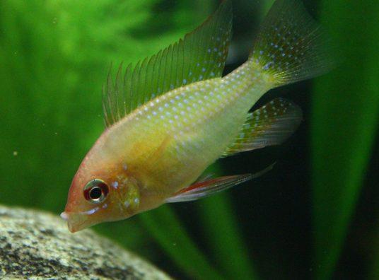 Theidiotech S Freshwater Fish Photo Id 32867 Full