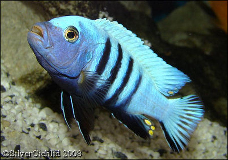 Silvercichlid S Freshwater Fish Photo Id 15216 Full