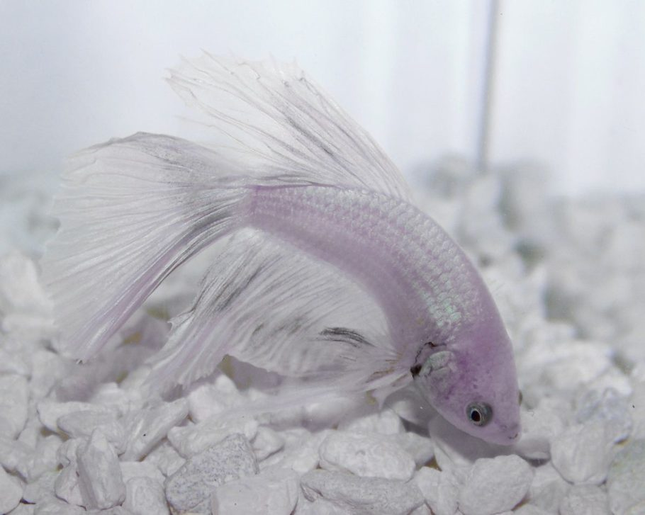 No more beutiful fish than a Betta