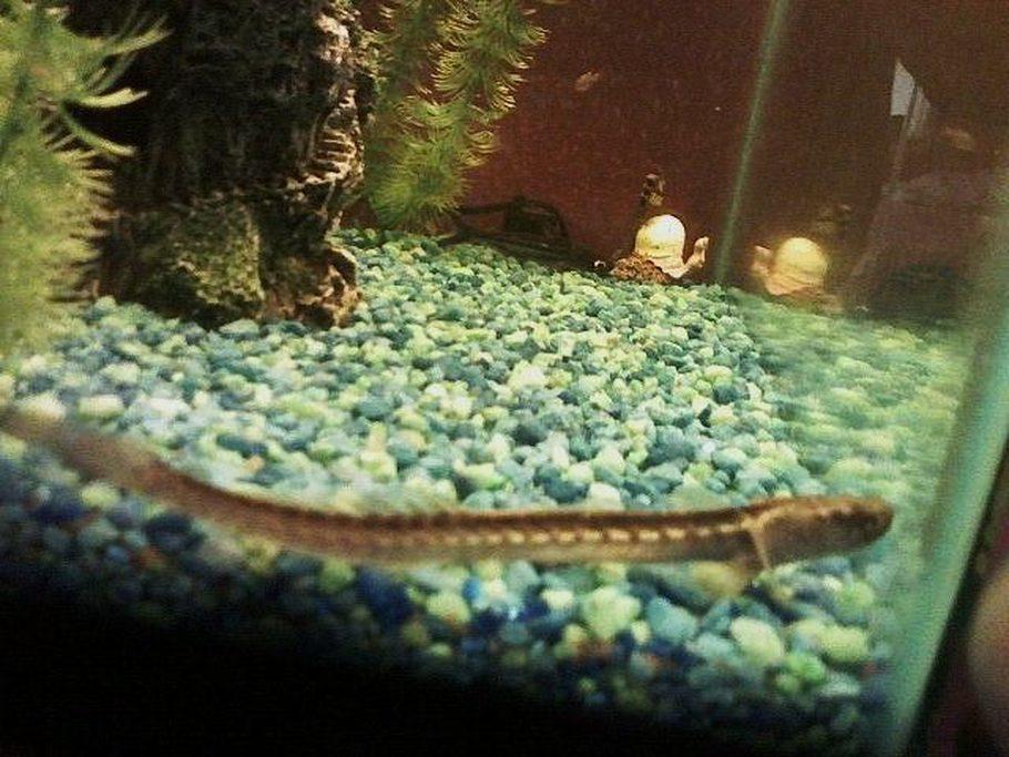Mjfkab1030 39 s freshwater fish photo id 22268 full for Freshwater dragon fish