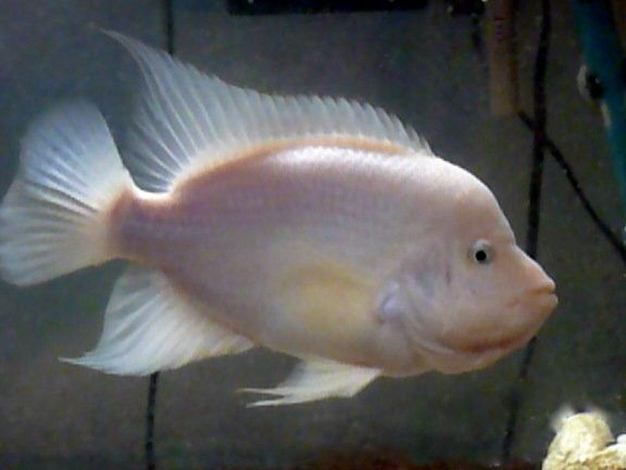 Mangothefish 39 s freshwater fish photo id 23272 full for Red devil fish