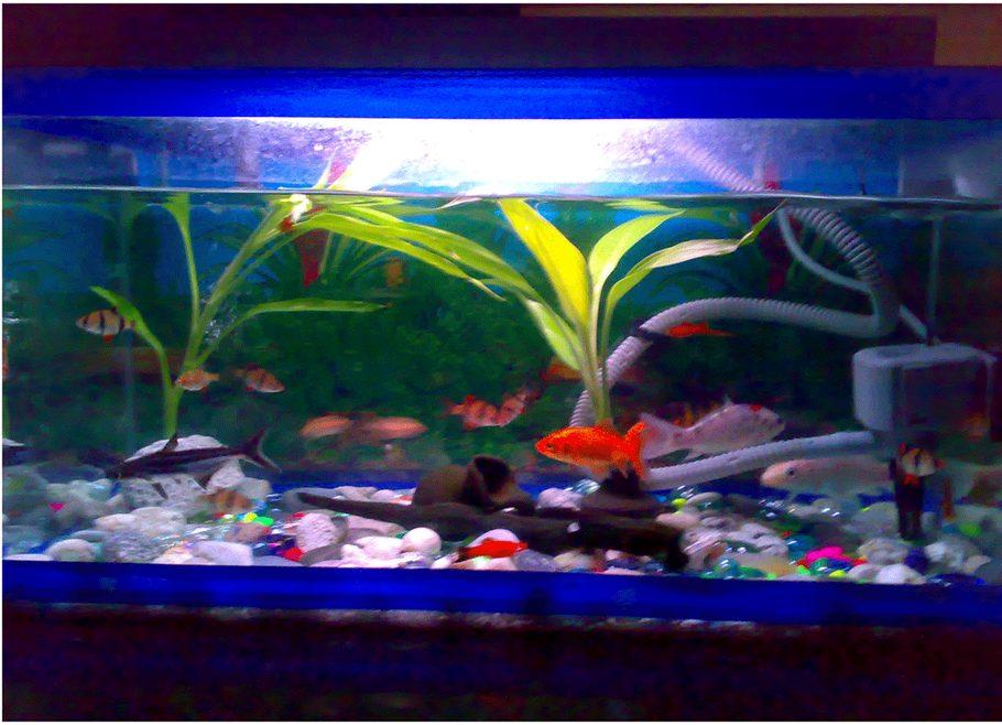 Kidders05 39 s freshwater fish photo id 26961 full for Koi fish tank setup